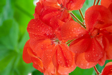 Red Geranium Blooms With Water...