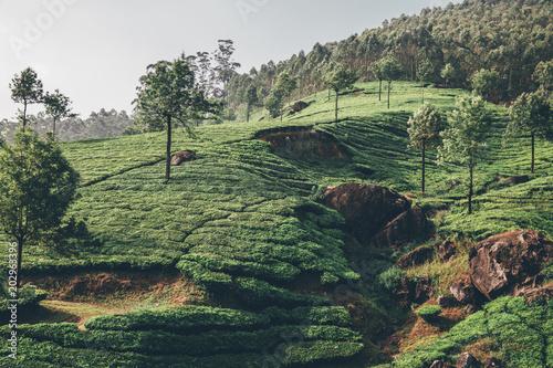 Fotobehang Olijf Teeplantage Fairtrade anbau, Bio Gesund aus der Natur Tee