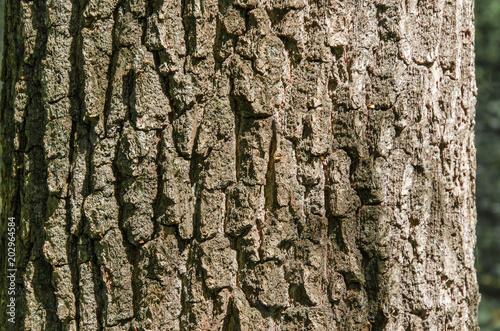 Bark of tree beech