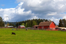 Cow Grazing On Green Pasture B...