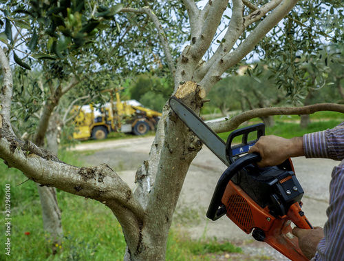 Tuinposter Olijfboom Pruning an olive tree with pruning with chainsaw