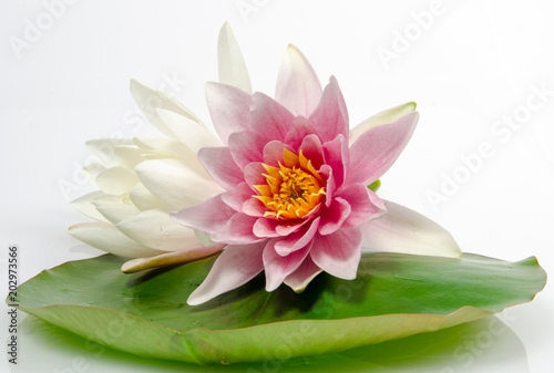 Tuinposter Waterlelies Auszeit, Entspannung, Schönheit, Meditation: Seerosen auf Seerosenblatt vor weißem Hintergrund mit schwarzen Kieselsteinen und Bambus :)