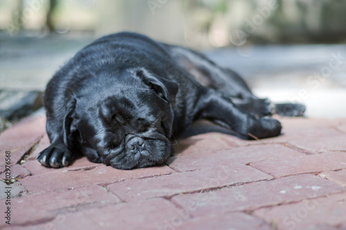 Cadres-photo bureau Panthère Pug Sleeping