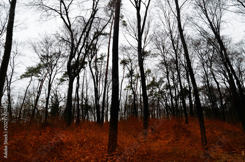 dark winter forest with red leaves on the ground buy this stock