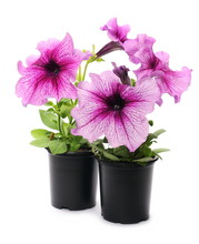 Petunia Flowers In Pot Isolate...