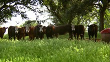 Cattle Under Shady Trees In Lush Pasture, Looking Toward Camera