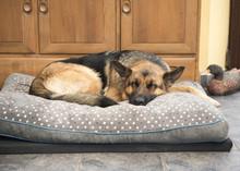 Beautiful German Shepard Dog S...