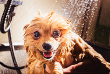 Portrait Of A Wet Dog. Pomeranian Dog With Red Hair Like A Fox In The Bathroom In The Beauty Salon For Dogs.