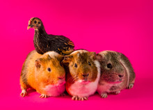 Interspecies Friendship Guinea Pigs Chicken