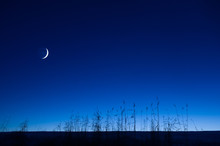 Crescent Moon In The Blue Sky. Common Reeds (Phragmites Australis) In The Foreground.