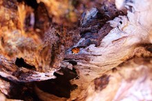 Ladybeetle In Stump