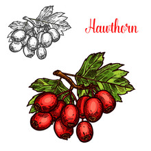 Hawthorn Fruit Branch Sketch With Ripe Red Berry