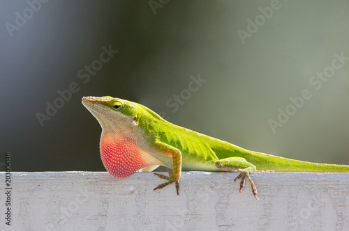 Male Carolina Anole Lizard Displaying Red Throat