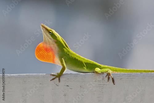 Male Carolina Anole Lizard Displaying Red Throat