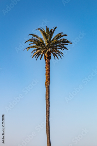 Keuken foto achterwand Palm boom A centered Canary Island date palm tree (Phoenix canariensis).