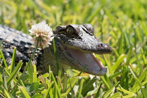 Surprise the guest - an American alligator on the lawn peeking open the mouth because of a white clover flower