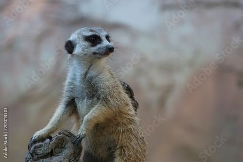 Fotografie, Obraz  Adorable Meerkat on Guard