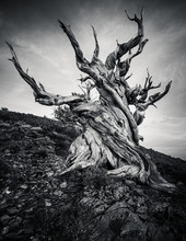 Methuselah - The Oldest Living Great Basin Bristlecone Pine ( Pinus Longaeva) Tree In The World. Bristlecone Pine Forest In The White Mountains, Eastern California, USA