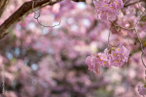 Foto op Plexiglas Magnolia Tabebuia rosea blossom