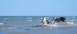 canvas print picture -  Eine Gruppe von zwei Australian Shepherd Hunden spielen glücklich und aktive im blauen Wasser des Ozeans