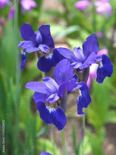 Foto op Canvas Iris アイリスの花