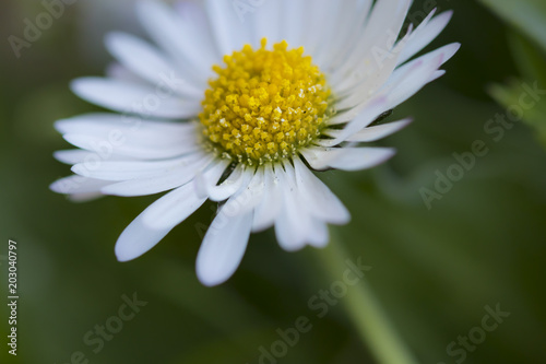 Foto op Canvas Madeliefjes White daisy flower in bloom on a green garden