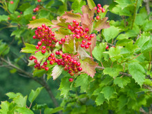 Red Berries Of A Guelder Rose, Viburnum Opulus, Close-up Selective Focus, Shallow DOF
