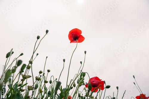 Foto op Canvas Poppy Red poppy flowers in spring.