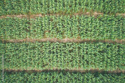 natura-ciemnozielony-lisc-kukurydzany-drzewo-dla-tekstury-i-tla-widok-z-lotu-ptaka-z-latajacego-drona