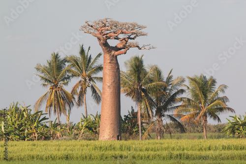 Keuken foto achterwand Baobab Baobab à Madagascar