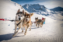 Sled Dogs Near Val Thorens Ski Resort In France, Europe