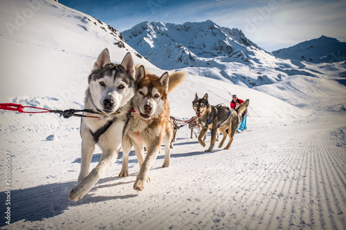 Carta da parati Sled dogs near Val Thorens ski resort in France, Europe