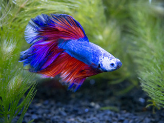 blue half moon Siamese fighting fish in a fish tank