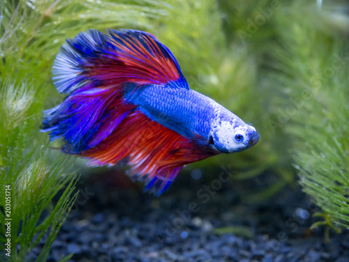 blue half moon Siamese fighting fish in a fish tank