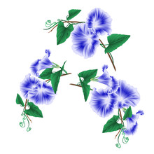 Morning Glory  Blue Spring Flowers Set Vintage Vector Illustration Editable Hand Draw