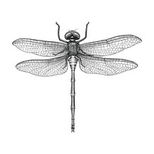 Dragonfly Hand Drawing Vintage...
