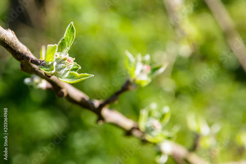Photo Close-up view of apple tree buds about to hatch at springtime, with a shalow depth of field against a blurry green background by a sunny day
