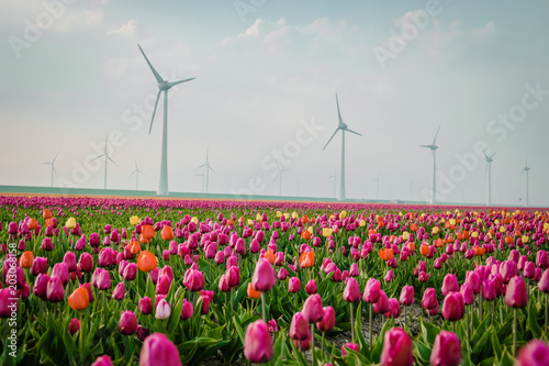 colorful tulip field with windmills