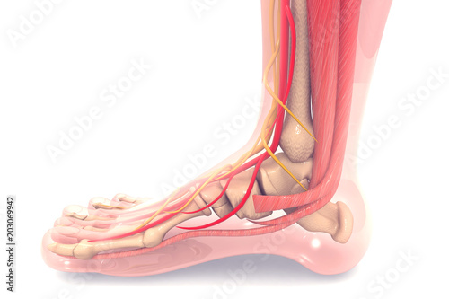 Anatomy of human foot 3d render Wallpaper Mural