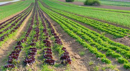 Fototapeta na wymiar Salatfeld auf der Farm