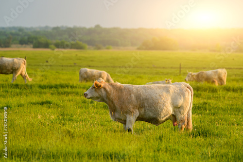 Photo Stands Cow Cows on the pasture sunset lights