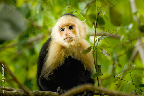 A capuchin Monkey in the green jungle of San Antonio National Park in Costa-Rica Fototapeta