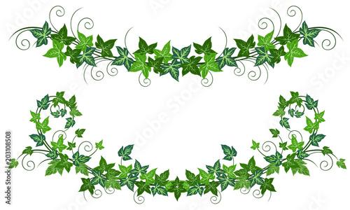 Photo Ivy vines (Hedera helix)