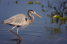 Great Blue Heron Feeding;  Everglades National Park;  Florida