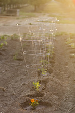 Saplings With Support Rings Gr...