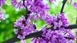 Bee pollinate redbud tree flowers in spring park