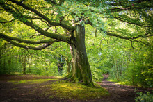 Magnificent Beech Tree In Summer Spreading Out Over Two Diverging Country Path Ways.
