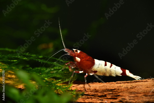 Sehr schöne rote Taiwan Bee auf Wurzelholz