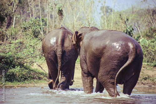 Elephants walking in lake at forest Poster