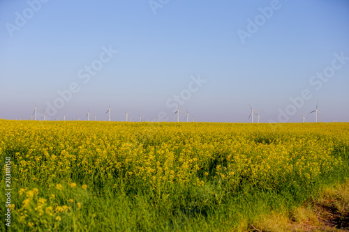 Yellow flowering plants and windmills on field against clear sky